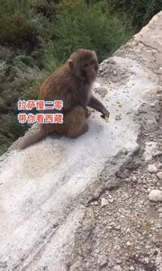 拉萨慢二零 带你看西藏! 西藏猕猴成精了~ #西藏旅行 #拉萨租自行车 #拉萨骑行