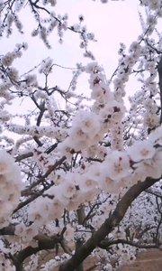 杏花树下  美人醉舞