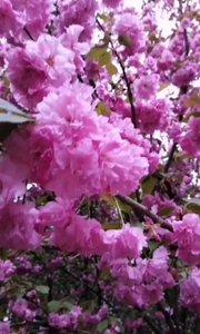 最美樱花(美美的视频 没人喜欢 现在都不想发了 想库存起来 )
