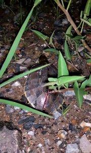 可怜的泰国小乌龟。。。