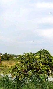 泰国秋收。。。 长这么大还第一次看收割机收稻谷?
