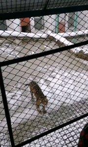在哈尔滨东北虎???????????林园喂豹子????????????