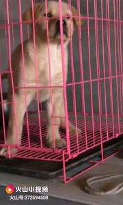 奶黄色拉布拉多,金鳞贵族犬舍繁殖
