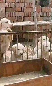 双血统奶白色拉布拉多幼犬,遗传就是这么稳定,品质就是这么无敌,cku三星永久犬舍金鳞贵族犬舍繁殖,喜欢来聊