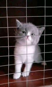 三只立耳蓝白,一只三花折耳出窝,落户张店喵想合作猫舍,有想看猫的可以直接过去