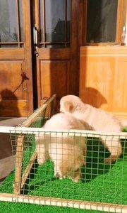 登录冠军米勒搭配四协会冠军女儿的金毛幼犬