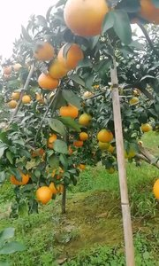 又是一年爱媛季,爱媛果冻橙来喽#美食不能少