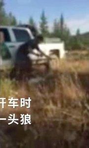 女司机撞了一匹狼 开60公里后下车看惊呆了