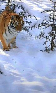 百兽之王~东北虎