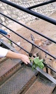 #带着花椒去旅行 喂小鹿吃草,真的是很喜欢小动物额。