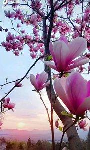 四月份大帅府的玉兰花就要开了,到时候去赏花。????