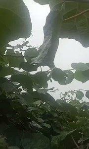 """中国周至县是""""中国猕猴桃之乡"""",是中国最大的猕猴桃生产基地,是中国唯一的猕猴桃标准化管理示范县。周至县自然条件优越,南以"""