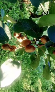 专业、精心种植猕猴桃!让猕猴桃回归于本来的味道(超级香甜的翠香猕猴桃)???
