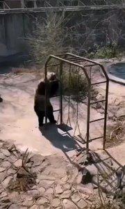 动物园里开启自嗨模式,熊模熊样得!???
