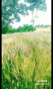#户外进行时 #我的美食 第一次见这种颜色的麦子,老爸就种了这一小片,纪录一下?????百度了一下黑麦 黑麦在国内市场上比较少见,它是一种出产在欧洲的特有粮食作物,欧洲的丹麦是这种食材的主要出产地,它与国内常见的燕麦相似,但外表颜色接近黑色,有浓郁的脉象,而且还有丰富氨基酸和维生素,能滋补强壮身体也能预防缓解疾病???