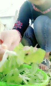 #我的美食 #户外进行时 蜗牛是害虫,为什么?它把小青菜都吃完了……