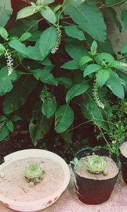 #户外进行时 #原创达人  我真的是眼睁睁看着它从一颗菠菜大小长成现在这个样子的???好奇就拍了照去百度搜了一下,学名叫垂序商陆,主要分布在北美,根部可入药 药用部位:以根入药。 采收加工:秋、冬或春季均可采收。挖取后,除去茎叶、须根及泥土,洗净,横切或纵切成片块,晒干或阴干。 主要成分:主要含商陆碱等成分。 药理作用:利尿作用止咳、平喘作用。 性味功能:苦,寒,有毒。祛痰,平喘,镇咳,抗菌,抗炎,利尿。 主治用法:水肿,胀满,脚气,喉痹,痈肿,恶疮。 用法:内服:煎汤,1.5-3钱;或入散剂。外用:捣敷