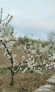 老家门口的桃树。