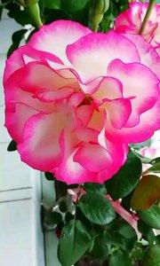 只道花无十日红,此花无日不春风。 月季花,一朵在风雨中永不凋零妩媚!?