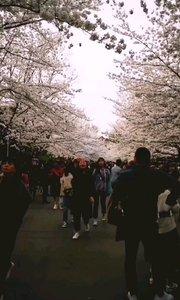 满天樱花,游人如织,每年樱花盛开的时候南京的鸡鸣寺路,南林大,玄武湖等赏樱盛地都热闹非凡,花期很短显得特别珍惜,盛放樱花
