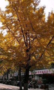 这里是南京的碑亭巷,虽然已经是冬天了,但是这几颗银杏树,满眼金灿灿,感觉依然是在秋天当中,加之中午暖阳,相当的舒服,路过此地,立刻被吸引,用影像记录秋天,金色之美。#户外动起来 #身边正能量 #带着花椒去旅行 #南京 #冬天