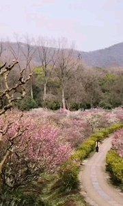 第一梅山,明孝陵梅花山最佳赏梅点,花如海,徜徉其间相当巴适,最近梅花盛开正盛,正是赏梅好时节。