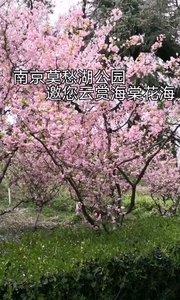 南京莫愁湖公园海棠花盛开,赏海棠就在此时,大片大片的海棠花,相当漂亮,莫愁湖公园以海棠花为特色,跟着镜头云赏海棠花。#户外动起来 #海棠花 #南京 #春天 #赏花