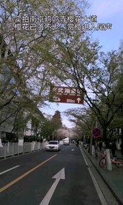 南京鸡鸣寺路赏樱大道,樱花已经落了不少,不少樱花树都已经长出嫩芽,昨天一场大雨导致不少樱花儿完【嘀~】了,这真是樱花易逝啊,这个周末可以不用去了。#户外动起来 #樱花 #南京 #赏樱 #春天