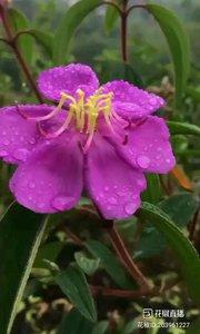 #花椒星闻 @花椒热点  雨后的大山是美的,紫色的花瓣上都是雨后的露珠晶莹剔透,让人怜爱,空气是清新的,透过屏幕都感觉得到,忽然一声两声的鸟叫,打破大山的宁静。。。 一早@村花幺妹 更新了动态,分享了这醉人的时刻,在太阳出来之前,这一切都是如此多娇 @村花幺妹 : 爱江山 雨露珠花 空山细雨 鸟鸣新夏 游离山河。 (幺妹腹有诗书气自华出口成章,七步成诗啊)是藏尾诗吗?@村花幺妹 大家赶紧的试试对一对。。。 41先试试     爱江山更爱美人     雨露珠花待人簪     空山细雨蒙蒙     鸟鸣新夏,