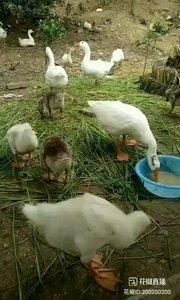 #花椒星闻 @花椒热点  进@户外☞小黑 直播间二话不说就录屏。 今天天不好,大雨将至,@户外☞小黑 不准备去河面了,在家陪陪大鹅! @户外☞小黑 :我们得大鹅不喂饲料长得慢,但是讲究,肉质好,蛋也营养丰富。水库现在刚放了鱼苗,等鱼大一些,我们把鸭子大鹅放到水库里去。 看着这些跑着的大鹅鸭子就干干净净的,不像吃饲料长大的那些。@户外☞小黑 的大鹅已经开始下蛋了,听老人们讲,孕妇吃鹅蛋好。有需要的可以私信@户外☞小黑 暖男主播,有求必应!  41报道   今天户外优秀打野主播搁家陪大鹅。
