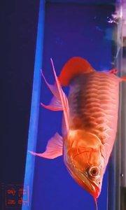 龙鱼和火凤的结合体基因突变还是混合物种你猜猜