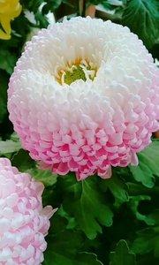 粉红的玫瑰