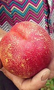 我问什么样子的桃子算是成熟了?阿姨的比喻很贴切,桃子熟了就人老了,满脸的皱纹?