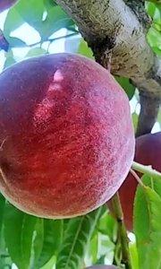 """生长过程5遍疏果、摘桃和装箱的2次筛选保证了""""泉城妈妈""""每一颗蜜桃的高品质[强]"""