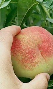 """泉城妈妈蜜桃园""""玉蕴脆爽"""",也是桃园的最后一款蜜桃将于本月23日上线发售?"""