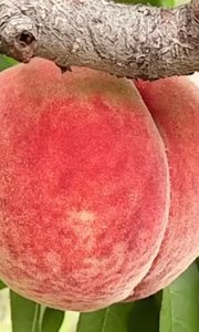 """""""玉蕴脆爽"""",酸甜比例1:24,脆桃【嘀~】的最爱,桃罐头DIY爱好者的最佳选择?"""