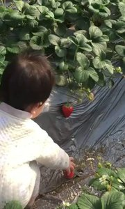 一周岁小盆友摘草莓