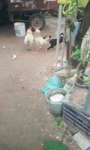 鸡打架,狗劝架。有爱吧。