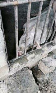 昨晚喂完猪,没锁好猪圈,猪差点畏罪潜逃,还好它拱累了自己又回来睡觉了。