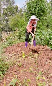 今天上午挖土,光捡草根就花去大半天时间