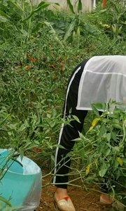 昨天打海椒来卖,今天又又又赶集了。经过两天雨水的滋润,野草疯长,我是移动的割草机。?