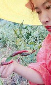 海椒本来就一次比一次打得少,连日下雨烂得又多,估计再打三四次海椒就会过季了。