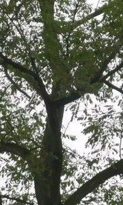 表叔突然造访,我们才知道屋后树上长了个蜂窝。怎么区分到底是蜜蜂还是马蜂呢??这一口吃了能长生不老嘛?难以理解。