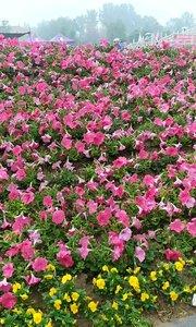 2019年4月21日雨中游览河南省洛阳市神州牡丹园,拍摄视频。