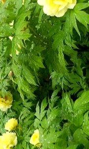 春游洛阳牡丹花会,雨中花更艳,姚黄真国色。