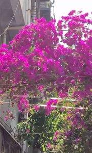 前几天阴天我以为花儿谢了,谁知道今天阳光正好,花也开了!