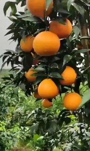 橙子熟了可以吃