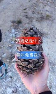 #带着花椒去旅行 松鼠上掉下来的大菠萝,看见此菠萝的朋友们事事如意!