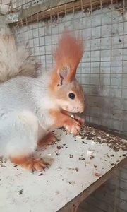 发现一只漂亮的松鼠,也不知道在吃什么好吃的#松鼠
