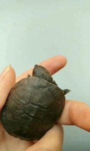 龟中二哈,沼泽侧颈龟,笑容特别可爱